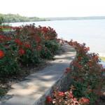 roses wall 2