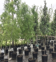 Assorted 15gal Trees