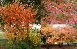 amelanchier-image-only